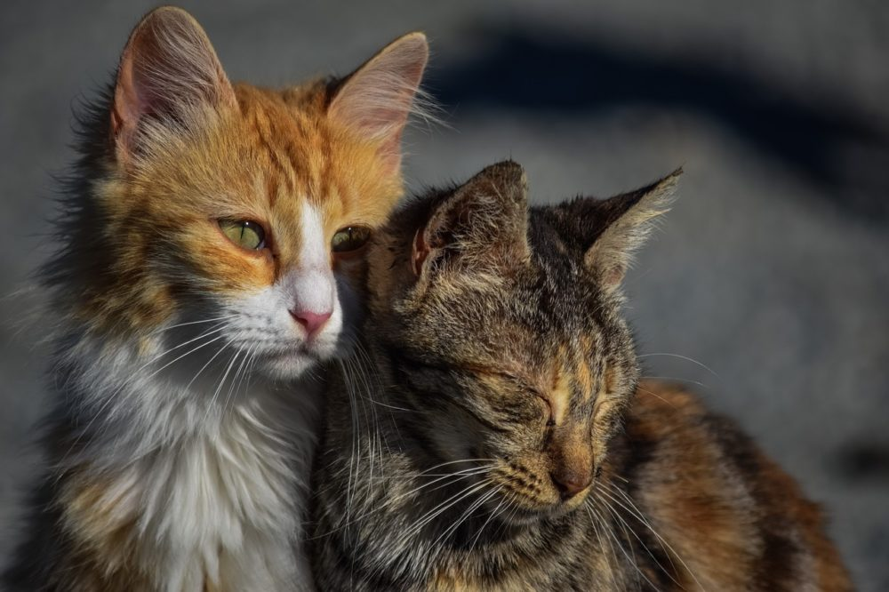 können katzen weinen