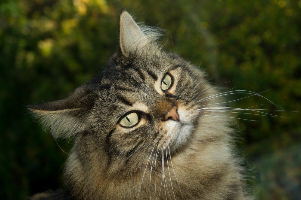 norwegische waldkatze charakter