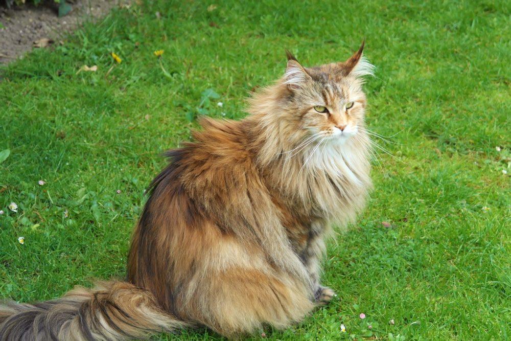 sibirische waldkatzen