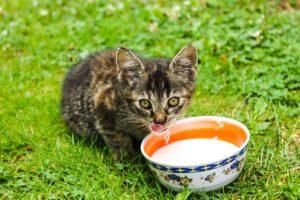 Darf Katze Milch trinken?, Katze Milch