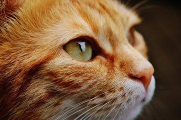 taurin für katzen