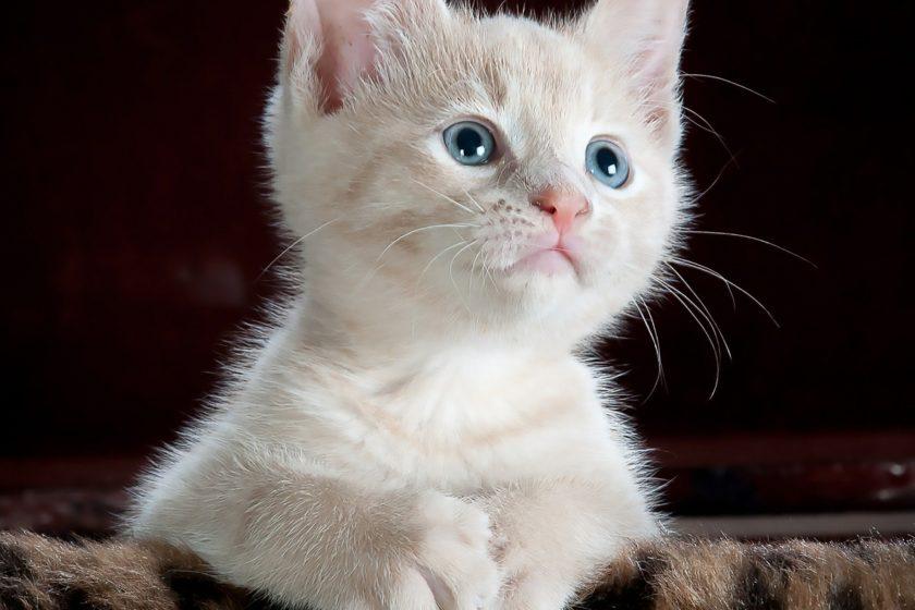 Katzen Rassierer